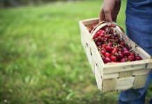 summer fruit - cherry picking